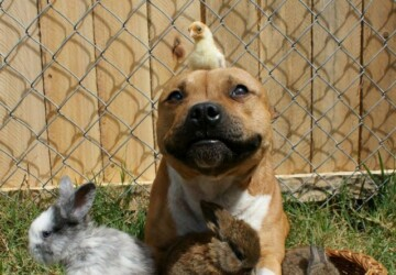 Boom, the Pit Bull who Loves Birds and Rabbits - rabbits, dog, birds, animals, amazing