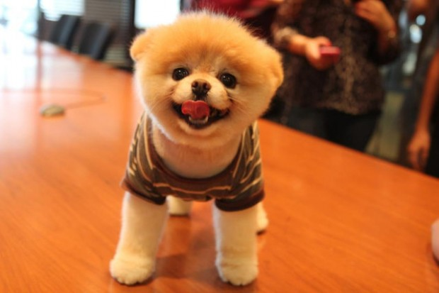 This is Boo – The Worlds Cutest Dog