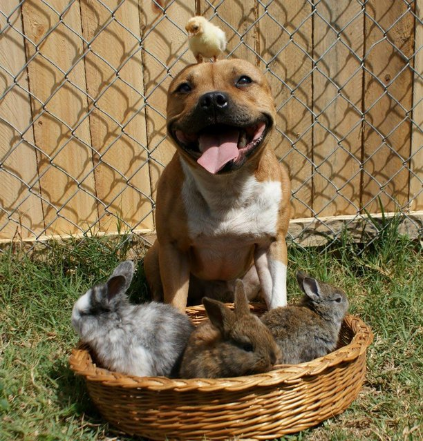 Boom The Pit Bull Who Loves Birds And Rabbits Style