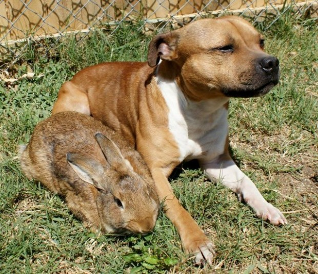 Boom, the Pit Bull who Loves Birds and Rabbits