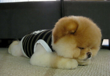 This is Boo – The World's Cutest Dog -