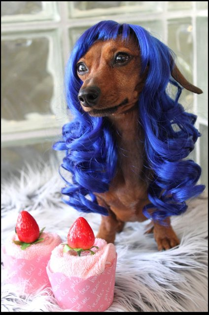 Pet Wig Fashions Style Motivation