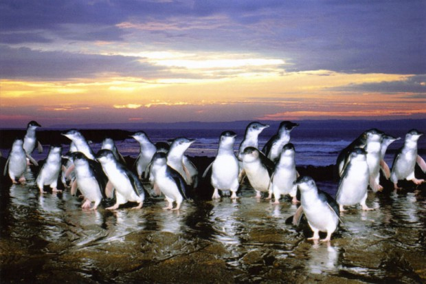 PhillipIsland_Penguin