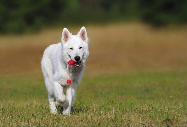 5 Reasons Why Dogs Should Play With Toys -