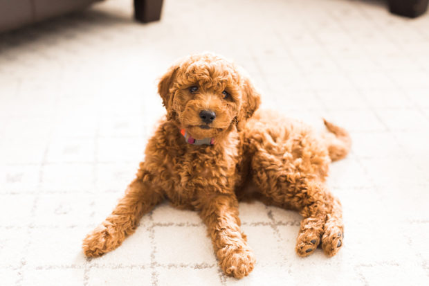The Miniature Golden Doodle Is the Hypoallergenic Pup You Will Want in Your House