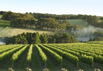 Best Wineries in Mornington Peninsula - yabby lake, winery, wine center, quealy, Mornington, hill estate, crittenden