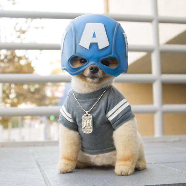 Captain America Jiff | 25+ Creative Costumes for Dogs