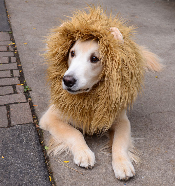 Lion Dog Costume | 25+ Creative Costumes for Dogs