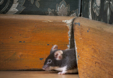 A 3 Step Guide to Prevent or Control Mice Infestation - prevent mouse, Mice Infestation, house, clean
