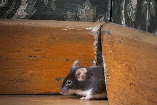 A 3 Step Guide to Prevent or Control Mice Infestation