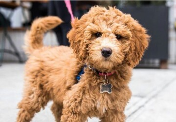 How To Groom A Goldendoodle - types, shaving, Lifestyle, importance, hair plucking, grooming, goldendoodle, brushing, bathing