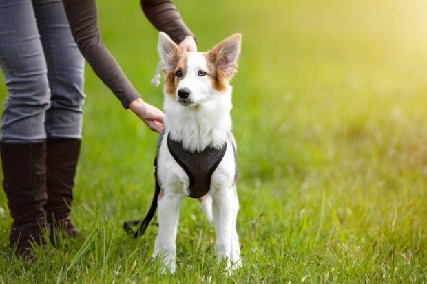 5 Main Differences Between A Harness And A Collar For Your Dog - pets, dogs, collar