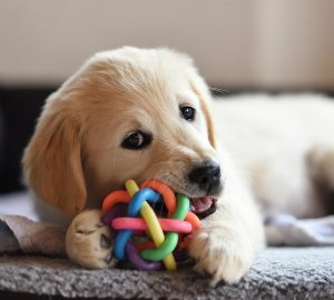 Introducing A New Puppy Into Your Family Home - puppy, introduce, home, family, dog